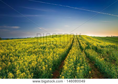The road leading through the rape fields. May landscape. Masuria Poland.