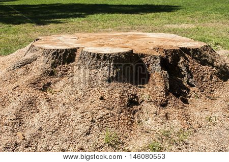 Freshly cut trunk with sawdust of big tree in park