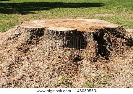 Freshly cut trunk with sawdust of big tree in park