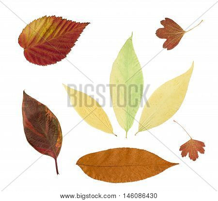 Dry bright autumn leaves isolated on white background. For use in scrapbooking pressed floristry (oshibana) or herbarium.