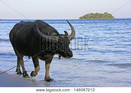 Water Buffalo Walking On A Beach Of Koh Rong Island, Cambodia