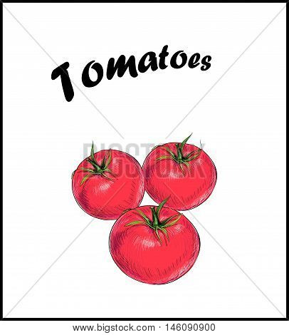 Tomatoes are red. Sketch vector drawing tomato. Isolated vegetables on white background