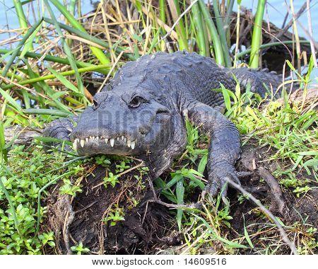 American Alligator - 7