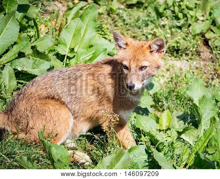 Jackal sitting in the grass in the summer