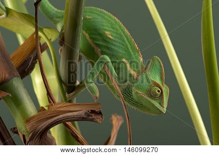 Veiled Chameleon on plant against green background