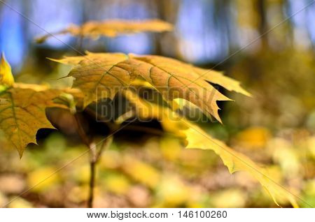 Yellowed Maple Leaves In The Autumn Forest Close Up. Young Trees In The Wild Nature