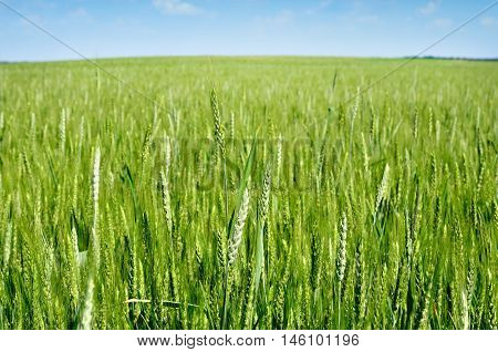 Young Ears Of Grain On The Background Of Blue Sky
