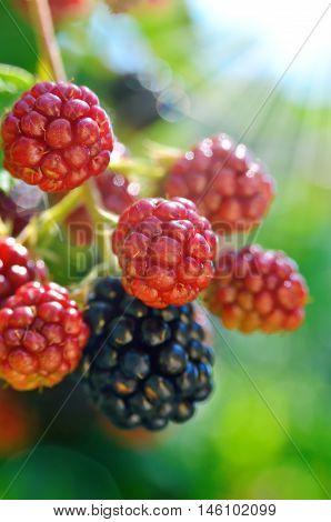 Large Blackberries Ripen In The Garden. Harvest Berries In The Summer Season.