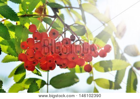 Bunches Of Red Rowan, On The Background Of Green Leaves
