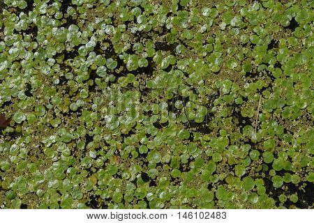 A colony of Giant Duckweed Giant Duckweed (Spirodela polyrhiza) filling a space of open water in a marsh in Henderson New York, USA.