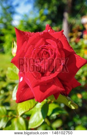 Beautiful red roses in the garden close up