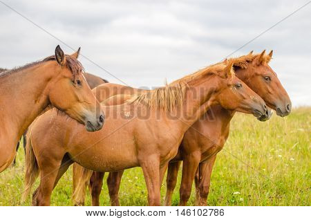 Wild horses in the Carpathians Ukraine Carpathian landscape