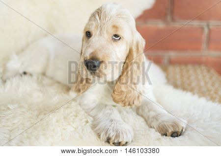 White/ orange english cocker spaniel puppy pose
