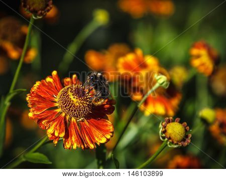 Bumblebee is on the orange flower of sneezeweed