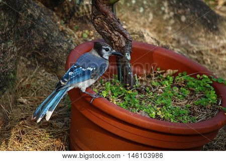 Blue jay is perched on a planter.