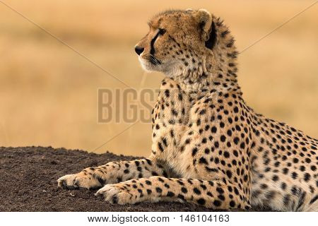 Male cheetah sitting in grass and looking for its pray in Masai Mara Kenya. Side view.