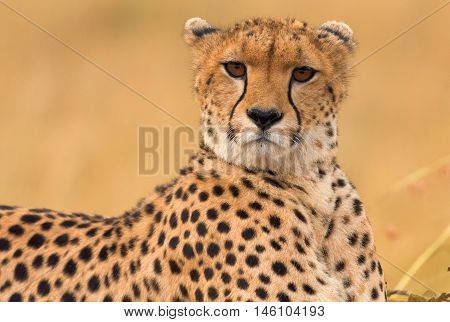 Male cheetah sitting in grass and looking for its pray in Masai Mara Kenya. Horizontal portrait looking at the camera