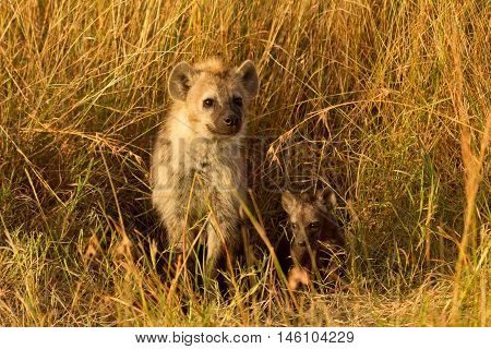 Baby spotted hyenas just come out from their hole Masai Mara Kenya. Horizontal shot