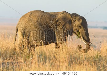 Elephant portrait at sunset in Amboseli national park in Kenya. Side view eating grass.