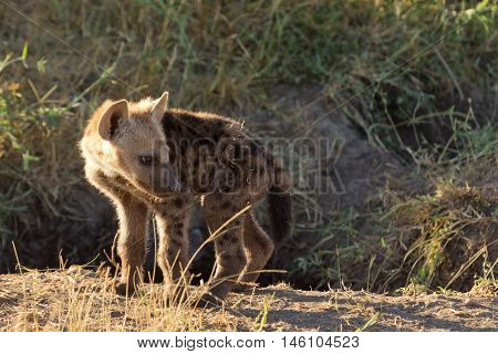 Baby spotted hyena cub just come out from its hole early in the morning. Shot in Masai Mara Kenya