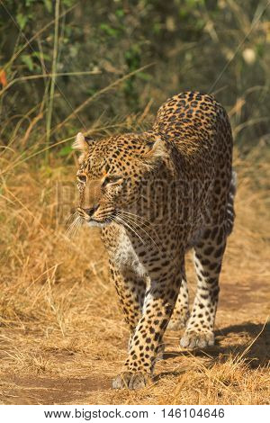 Female leopard walking in grass and looking for its pray in Masai Mara Kenya