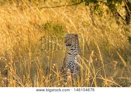 Female leopard walking in grass and looking for its pray in Masai Mara National Park