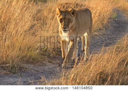 Female lion walking around in the grass in Masai Mara Kenya. Horizontal shot