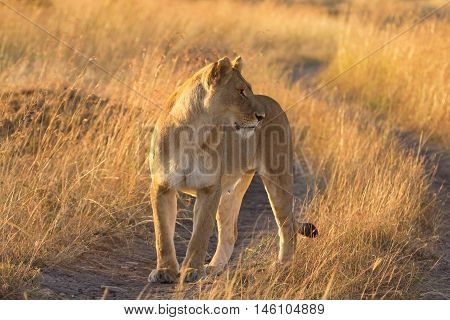 Female lion walking around in the grass in Masai Mara Kenya. Shot at sunset horizontal shot