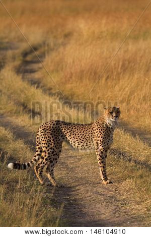 Male cheetah walking in grass and looking for its pray in Masai Mara Kenya Africa. Shot at sunset
