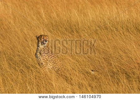 Male cheetah walking in grass and looking for its pray in Masai Mara Kenya. Looking right