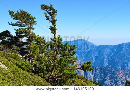 Pine Trees on a mountain ridge shaped by the persistent wind taken in Mt Baldy, CA