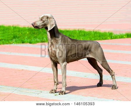 Weimaraner in profile. The Weimaraner is in the city park.