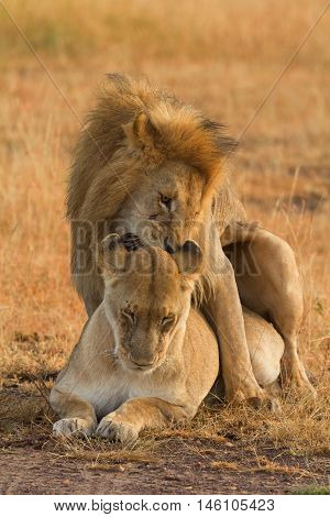 Mating lions in Masai Mara Kenya during the dry season