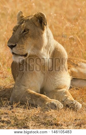 Portrait of female lion lying in the grass at sunset in Masai Mara Kenya