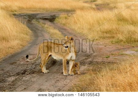 Female lion with cub in Masai Mara Kenya