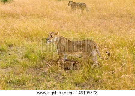 Female lion with cubs in Masai Mara Kenya