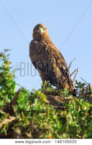 Tawny Eagle nesting on a tree in Masai Mara Kenya