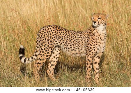 Male cheetah walking in grass and looking for its pray in Masai Mara Kenya. Horizontal portrait