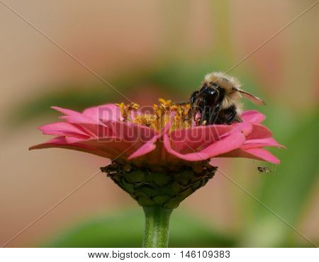 Bee relaxing on a flower having sucked the nectar