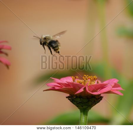 Bee fying off from a flower having sucked the nectar