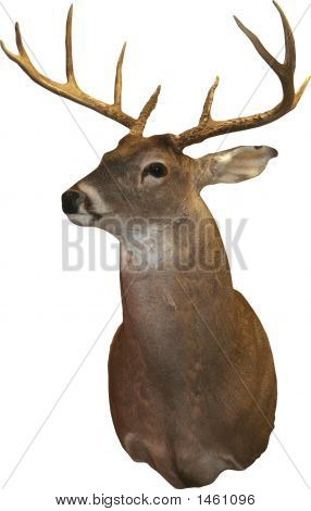 Trophy Buck Over White