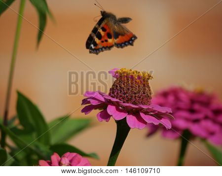 Butterfly flying off from a flower having sucked the nectar