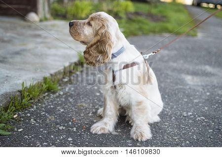 dog, puppy, english cocker spaniel, pet, outside