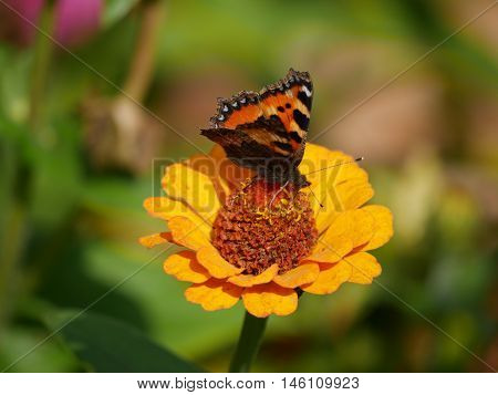 Butterfly landed on a flower and sucking the nectar