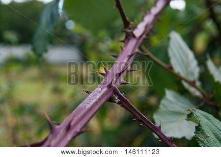 Thorn Plant Vine Stem Purple Danger Sharp Macro