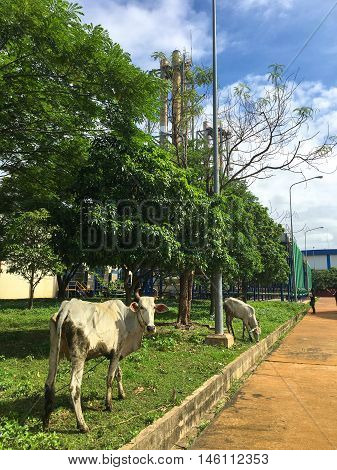 Kandal, Cambodia - June 26, 2016 - Oxen are inside oil power plant in Kandal, Cambodia.