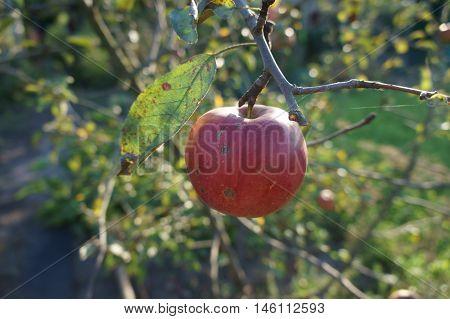 One red with a dark spots fruit apple 'Slava pobediteljam' on a branch.