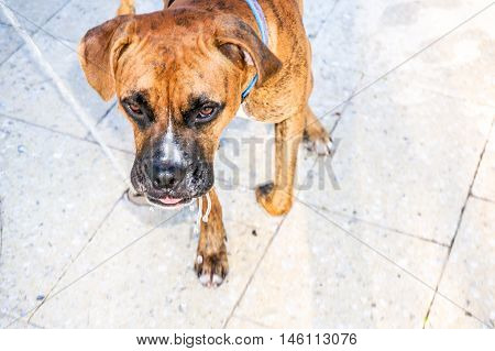Close up of brindle boxer head after drinking water