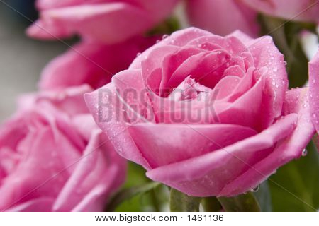 Pink Rose Close-Up