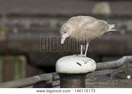 Glaucous Gull (Larus hyperboreus) juvenile standing on a Bollard in a Harbour